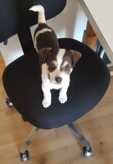 Dog, young and cute owning the chair